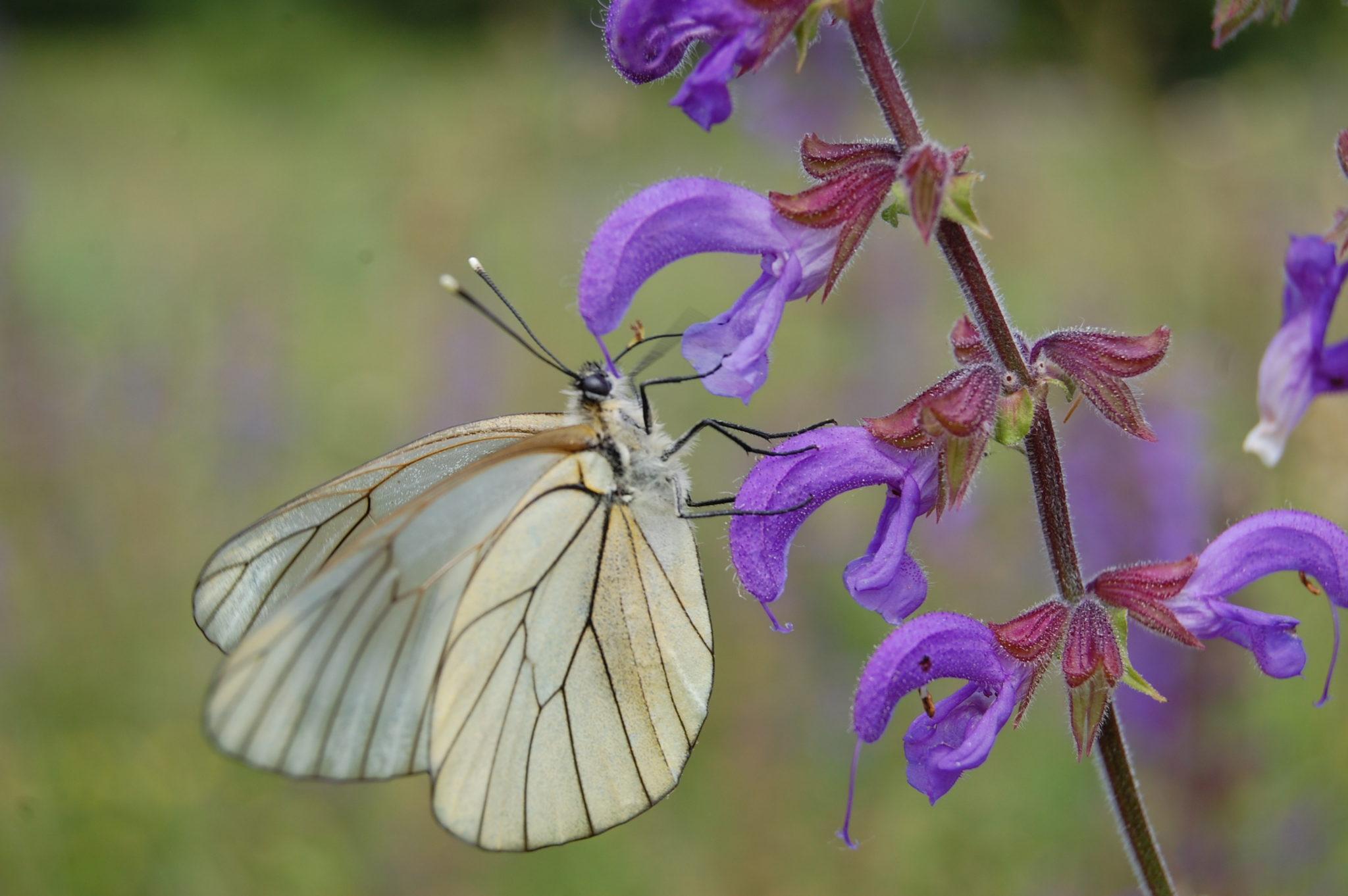 Papillon à la sauge